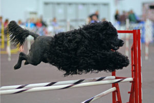 800px-portuguese_water_dog_agility